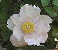 牡丹-單瓣型 Paeonia suffruticosa Single-series -菏澤百花園 Heze, China- (9213324613).jpg