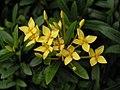 矮黃仙丹 Ixora williamsii -香港動植物公園 Hong Kong Botanical Garden- (9213323063).jpg