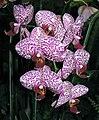 蝴蝶蘭 Phalaenopsis Leopard Prince × Dou-dii Rose -台灣桃園機場 Taiwan Taoyuan Airport- (9159963122).jpg
