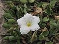 賽亞麻屬 Nierembergia rivularis -倫敦植物園 Kew Gardens, London- (9229788618).jpg