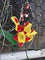 跳舞女郎 Thunbergia mysorensis 20200307185911 05.jpg