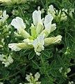金雀兒屬 Chamaecytisus albus (Cytisus albus) -維也納高山植物園 Belvedere Alpine Garden, Vienna- (28662369094).jpg