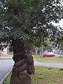 鳥榕 Ficus superba var. japonica - panoramio.jpg