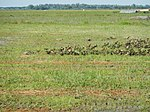 03326jfBirds Ducks Wetland Rice Fields Candaba Pampangafvf 15.JPG