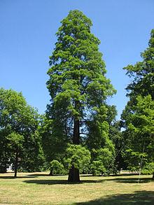 cyprès arbre