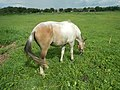 05559jfNative horses in grasslands Baliuag Bulacanfvf 26.jpg