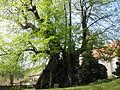 1000 - jährige Linde in Collm.JPG