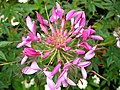 1810 - Salzburg - Mirabellgarten - Flower.JPG