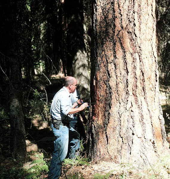 "File:1990. H. Gene Paul, increment-boring ponderosa pine no.06 at Soap Spring, Wenaha-Tucannon for ""Effects of defoliation study."" Umatilla National Forest. (38570944086).jpg"