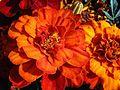 1 Tagetes erecta - Kew 1.jpg
