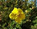 2006-10-30Potentilla fruticosa01.jpg
