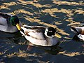 20110125 Ducks in pond of Raadhuis Hilversum. 03.JPG