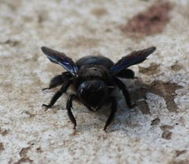 2012.03.01 carpenter bee 2.JPG