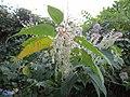 20121013Reynoutria japonica1.jpg