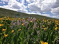 2014-06-24 12 07 09 Wildflowers along Elko County Route 748 (Charleston-Jarbidge Road) in the southern part of Copper Basin, Nevada.jpg