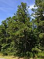 2014-08-29 13 18 27 Pines along Tabernacle-Chatsworth Road (Burlington County Route 532) in Tabernacle Township, New Jersey.JPG