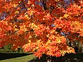 2014-11-02 15 06 11 Sugar Maple foliage during autumn along Parkway Avenue in Ewing, New Jersey.jpg