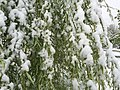 2015-05-07 07 42 05 New green leaves covered by a late spring wet snowfall on a Weeping Willow on Douglas Street in Elko, Nevada.jpg