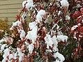 2015-11-02 10 39 03 Snow on a Mountain-Ash's autumn foliage along Brockway Road in Truckee, California.jpg