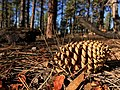 2016-366-300 Just Another Pine Cone in the Forest (30593964775).jpg