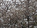 2017-04-03 16 06 44 White Flowering Cherry flowers near the end of Ladybank Lane in the Chantilly Highlands section of Oak Hill, Fairfax County, Virginia.jpg