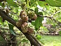 2017-05-29 15 40 13 White Mulberry fruit along a walking trail in the Franklin Glen section of Chantilly, Fairfax County, Virginia.jpg