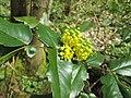 20180414Mahonia aquifolium2.jpg