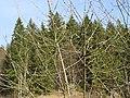 2019-03-03 (100) Catkins of undefined Salix (willow) at Bichlhäusl, Haltgraben, Frankenfels, Austria.jpg
