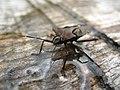 4771 - Stechelberg - Pentatomidae.JPG