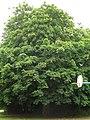 7. Horse Chestnut (Aesculus hippocastanum) (3606849779).jpg