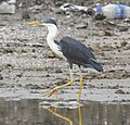 A Pied Heron steps along the polluted edge of a puddle at Lake Tasitolu.jpg