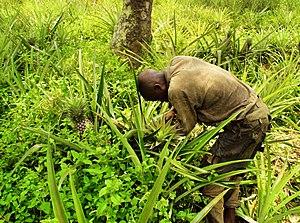 Kasaï-Central - Pineapple farming near Kananga