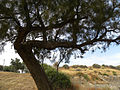 A Tamarisk Tree in Israel B (5758888559).jpg
