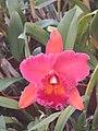 A and B Larsen orchids - Brassolaeliocattleya Miva Ruby Magnific DSCN0728.JPG