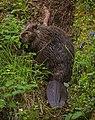 A beaver eats dinner near Horseshoe Lake on Thursday, June 29, 2017. (16f4796c-d685-426a-ae6b-f02b117cac5c).JPG