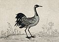 A bird; a crane (Grus communis). Etching. Wellcome V0022364.jpg