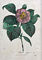 A camellia (Camellia japonica var.); flowering stem. Coloure Wellcome V0044585.jpg