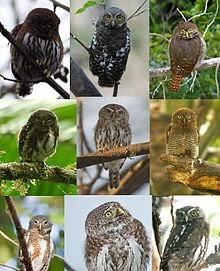 Glaucidium gnoma, Glaucidium capense Glaucidium brasilianum Glaucidium costaricanum Glaucidium perlatum, Glaucidium radiatum, Glaucidium cuculoides Glaucidium passerinum, Glaucidium nanum