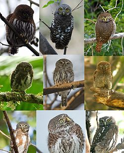A collage of Pygmy owls (Glaucidium).jpg