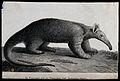 A giant anteater (Myrmecophaga tamandua). Etching. Wellcome V0021446.jpg