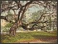 A live oak in Magnolia Cemetery, Charleston, S.C-LCCN2008678269.jpg