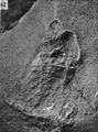 A monograph of the terrestrial Palaeozoic Arachnida of North America photos 60-69 61.png