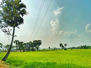 A paddy field in Comilla, Bangladesh