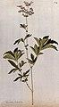 A plant (Filipendula rubra) related to dropwort; flowering s Wellcome V0042892.jpg