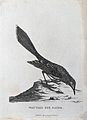 A wattled bee-eater. Etching by S. T. Edwards after A. Latha Wellcome V0022862EL.jpg