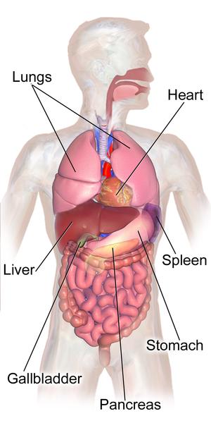 Abdominal Organs Anatomy