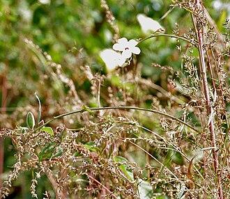Abelmoschus ficulneus - Image: Abelmoschus ficulneus (Jungli Bhendi) leaves in Kawal, AP W IMG 2216