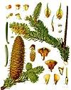 Abies alba - Köhler–s Medizinal-Pflanzen-001.jpg
