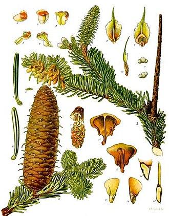 Köhler's Medicinal Plants - Image: Abies alba Köhler–s Medizinal Pflanzen 001