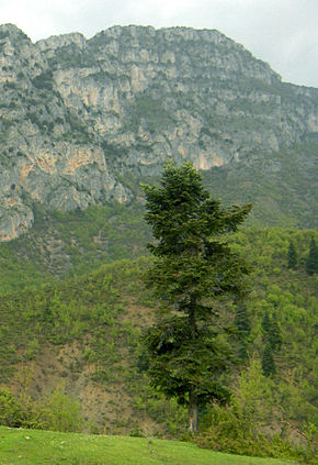 Description de l'image Abies borisii-regis Albania.jpg.